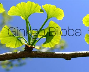 What is Ginkgo Biloba